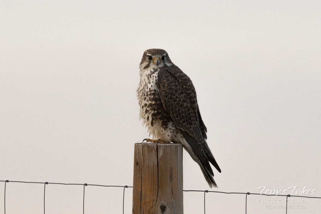 Prairie Falcon puffs up on a chilly morning
