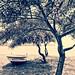 Mimosa trees on Koca Calis