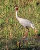 _MG_0753 Sarus Crane (Grus antigone), near Hapur, Uttar Pradesh, India, 28 Feb 2013 by Lathers