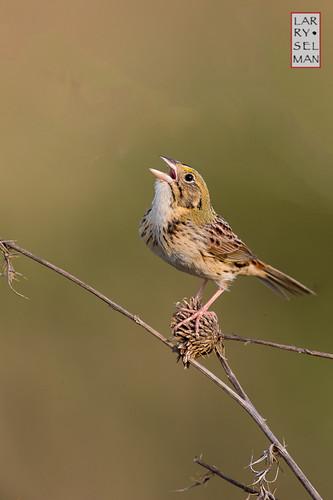 family ohio bird birds dresden us singing unitedstates thistle workshop sparrow day4 lakehope studabaker