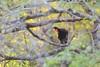 Black-fronted Piping Guan (Pipile jacutinga) by Daniel J. Field