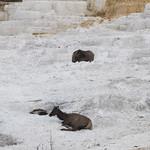 Elk on Mammoth Terrace