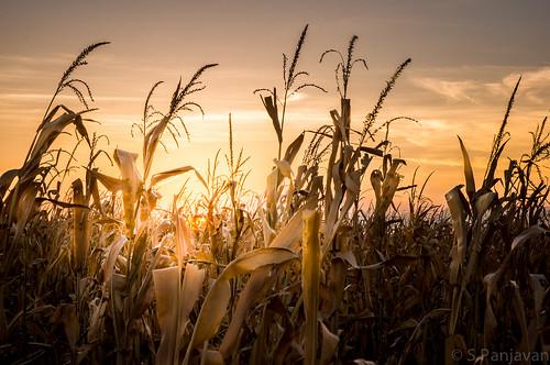 sunset sun field golden evening crop