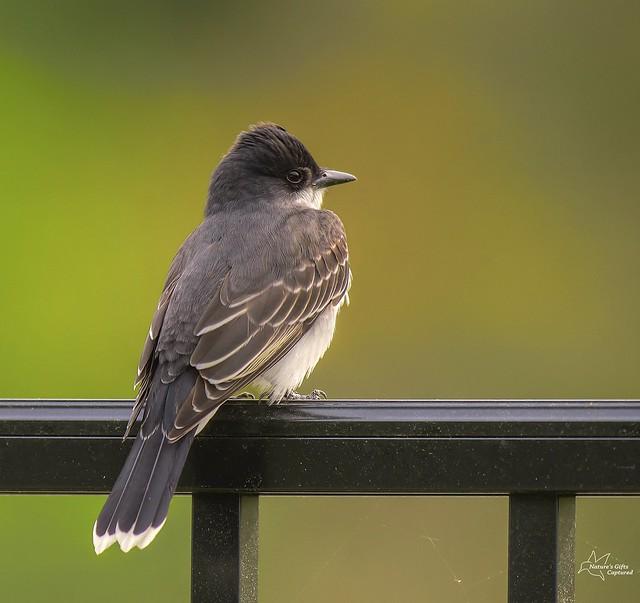 Eastern Kingbird - On the Fence