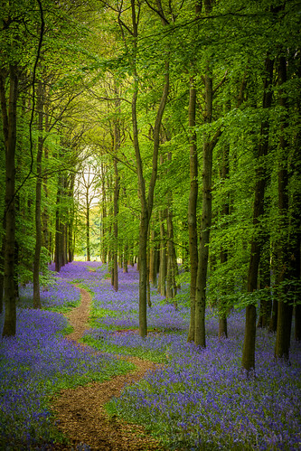 Bluebell Cathedral