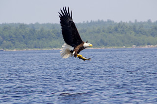 Bald Eagle over 4th Machias Lake | by David Gallagher