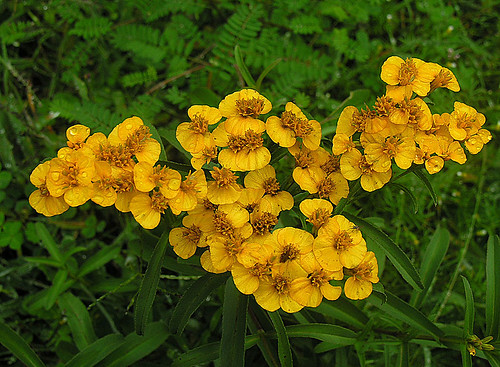 Tagetes lucida, the Sweetscented Marigold | by Dick Culbert
