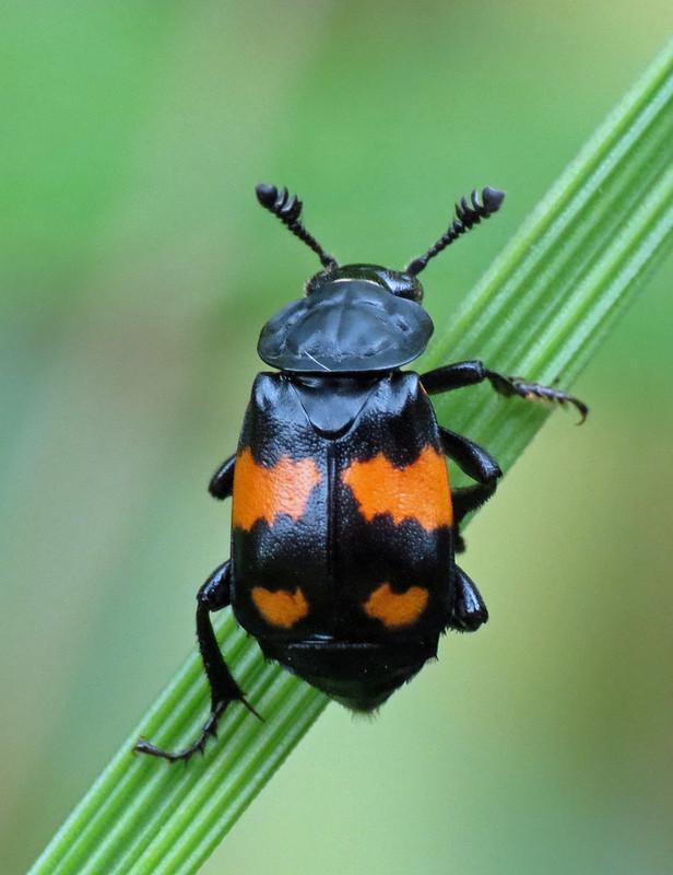 Burying Beetle - Nicrophorus vespilloides