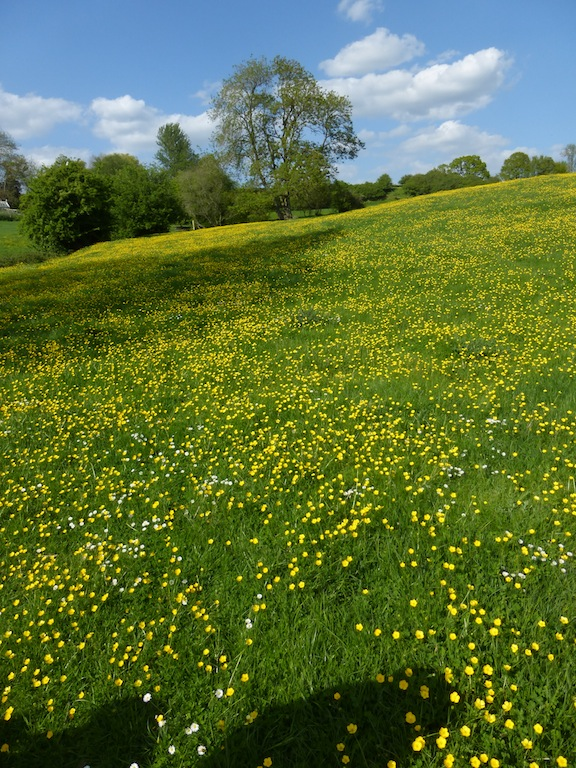Buttercup meadow near Pluckley Sutton Valence to Pluckley walk