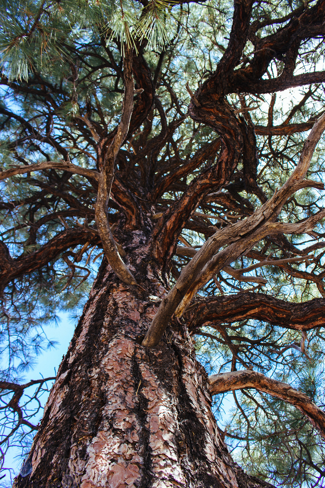 Ponderosa pine trunk and branches