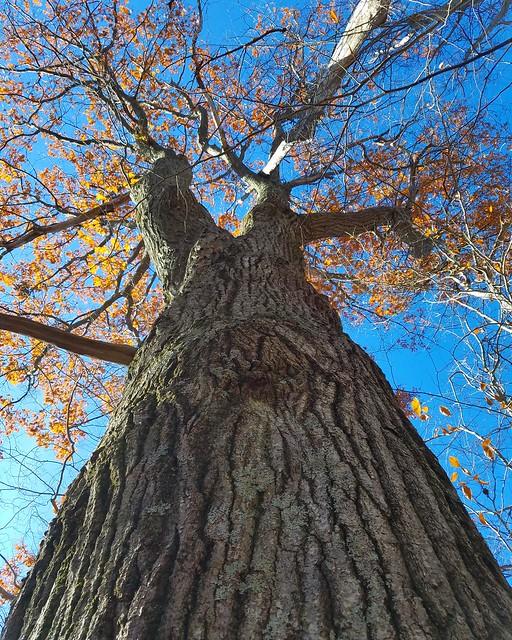 Massive old growth oak tree