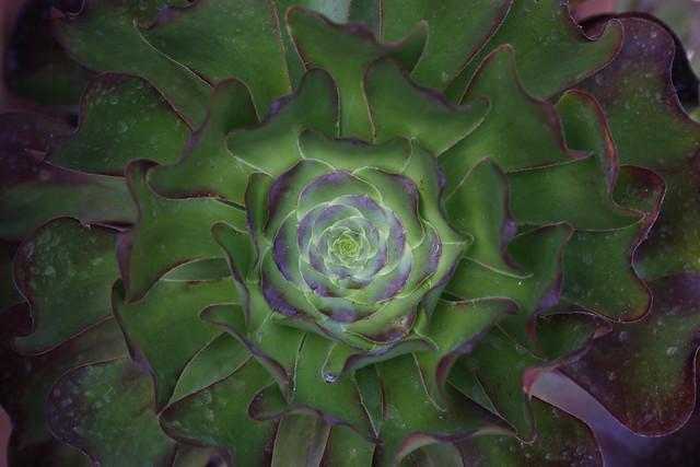 A Starburst Succulent