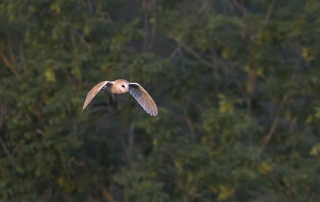 Barn Owl with Prey iii (Tyto alba)