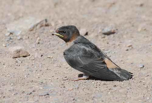 Cliff Swallow, recent hatch year young | by birding4ever