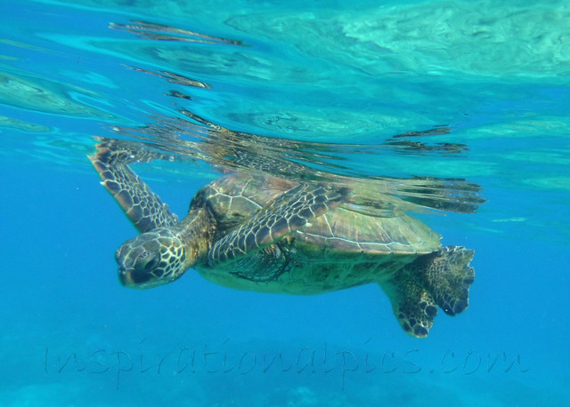 Maui Sea Turtle by www.inspirationalpics.com