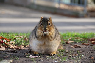 164/365/3086 (November 22, 2016) - Squirrels in Ann Arbor at the University of Michigan (November 22, 2016) | by cseeman