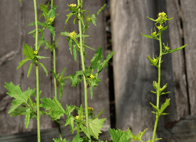 toothy pinnatisect leaves, dog mustard