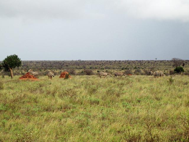 Zebras - Tsavo East National Park, Kenya