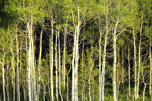 trees idaho yellowstone aspen aspentrees collectionslideshow