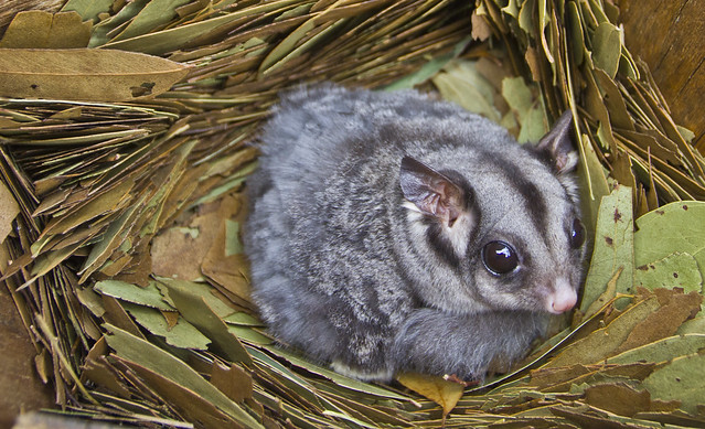 Sugar Glider - Petaurus breviceps
