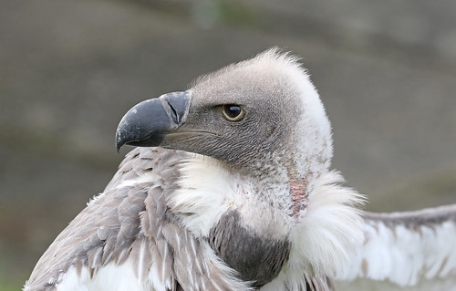 Indian Vulture Portrait