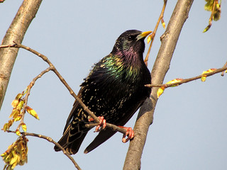 Ruby-throated Starling | by zxgirl