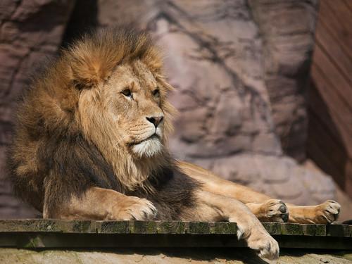 Lion | by wwarby