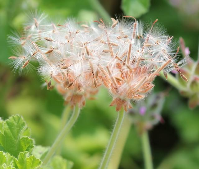 Geranium Seeds! (Explored)