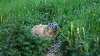 Marmotte | by Simon Cook