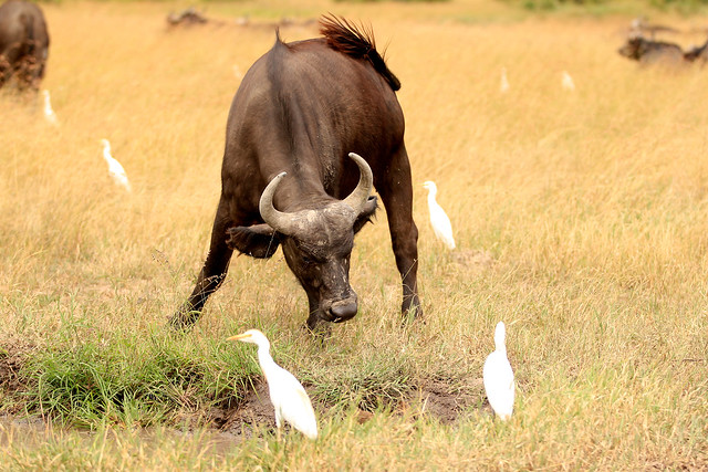 Buffalo and wings - This water buffalo is not happy, but the egrets calmly go about their business. Maasai Mara, Kenya, 2012