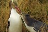 Yellow eyed penguin and juvenile Megadyptes antipodes (Maori hoiho) by Maureen Pierre