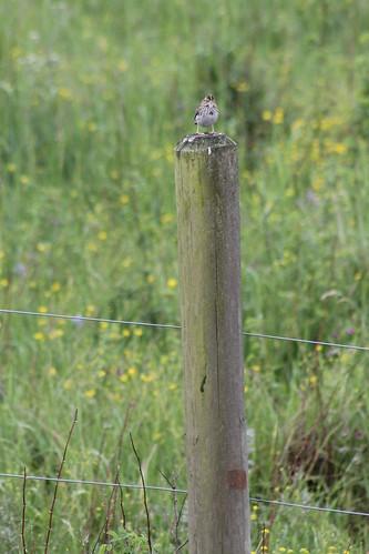 savannahsparrow passerculussandwichensis passerculus sandwichensis passerculussandwichensisbrooksi