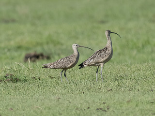 Long-billed Curlew | by mnlamberson