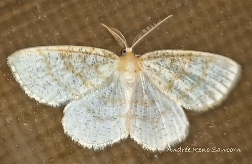 Yellow-dusted Cream - Hodges#6677 (Cabera erythemaria)