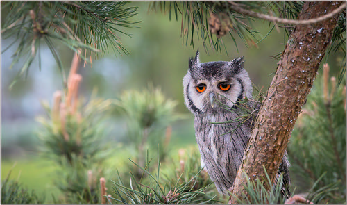owl 1 ) | by Evelakes67