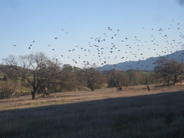 IMG_3882 Sedgwick blackbirds flying