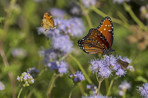 queenbutterfly mariposareina saltarinaencendida fieryskipper danausgilippus hylephilaphyleus butterfly mariposa insect insecto nature wildlife fauna naturaleza