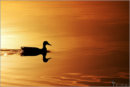 morning usa lake reflection bird nature water silhouette swimming sunrise golden duck texas plano goldenlight vimal canon500d 55250is oakpointpark rebelt1i vimalvp earlysailor