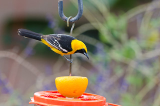 hooded Oriole | by Barron B