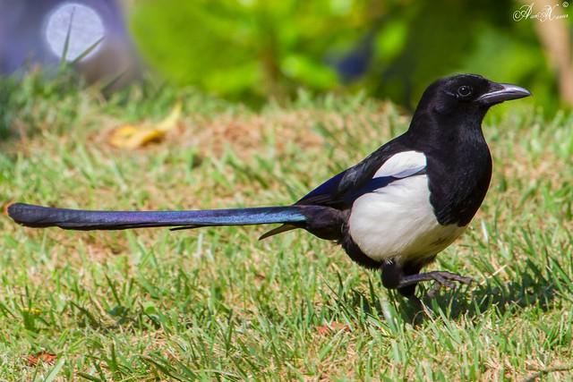 Pega-rabuda, Magpie (Pica pica) - em Liberdade [in wild]