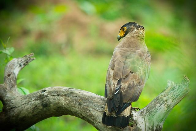 Crested Serpent Eagle - Bandipur Tiger Reserve, Karnataka, India