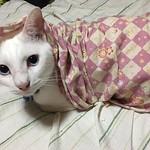 最先端のファッション お洒落!なのか? #あお #小風呂敷 #お洒落 #猫  #Cat