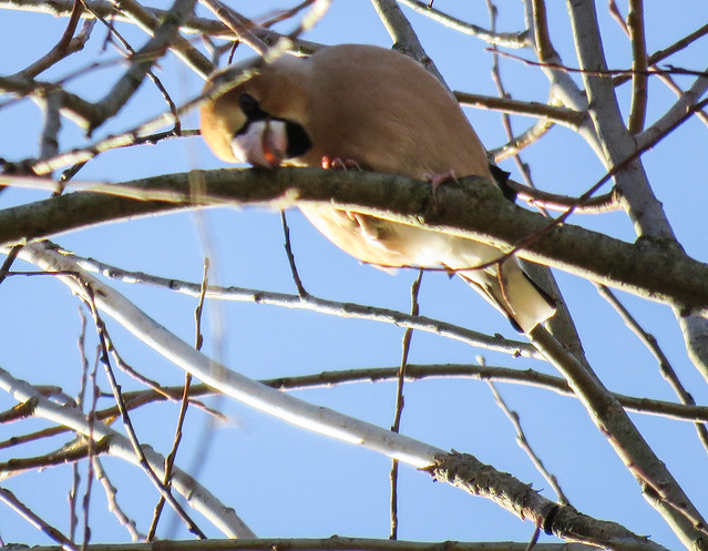 Hawfinch / Kernbeisser /(Coccothraustes coccothraustes)