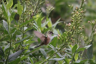 Broad-tailed Hummingbird | by Birding In New Jersey