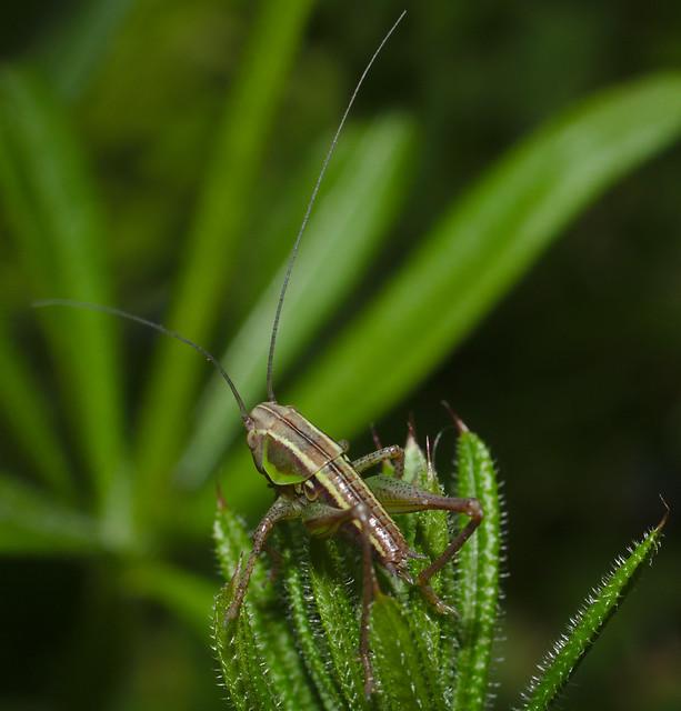Bush cricket larva