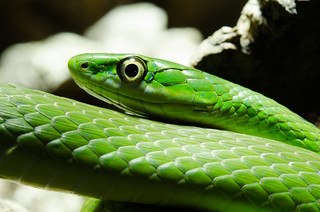 opheodrys aestivus - Rough green snake | by DavidStinson