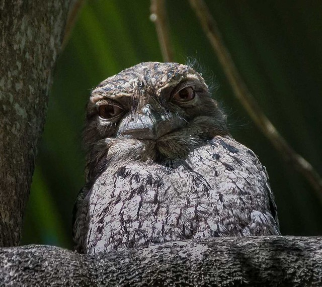 IMGP7863-Tawny-frogmouth