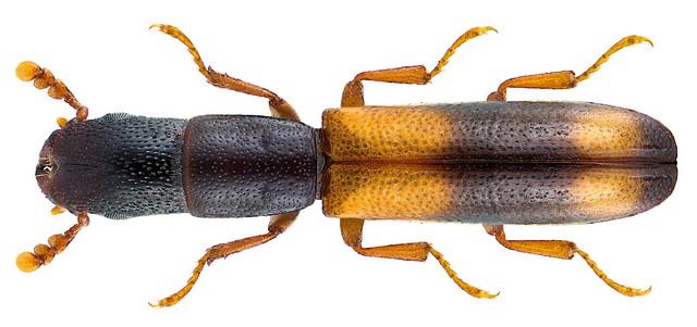 Nemosoma elongatum (Linnaeus, 1761)
