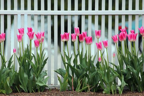 michigan bayview petoskey flower flowers tulip tulips pink pinkflower fence fences staffordinn staffordinns chautauqua chautauquacommunity flowers11241 bayview11241 roadside petoskey11241 mi photography miphotography crookedtreeartscenter petoskeycameraclub petoskeyphotographyclub crookedtreephotographicsociety robertcarterphotographycom ©robertcarter