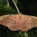 Japanese Silk Moth - Photo (c) Dean Morley, some rights reserved (CC BY-ND)